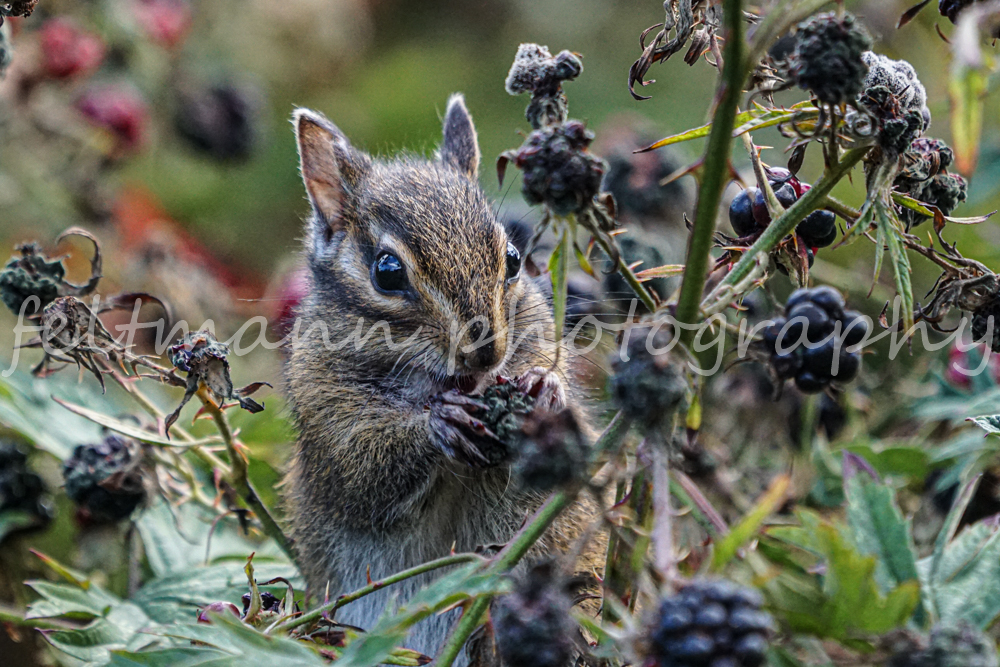 Chipmunk Eating a Blackberry