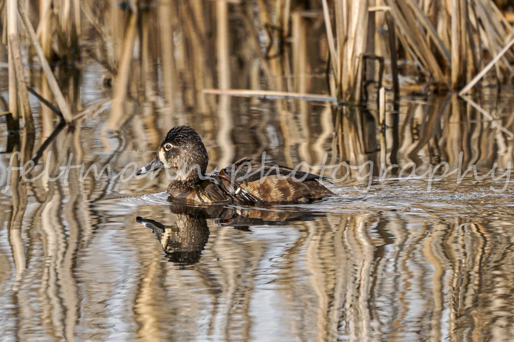 Female Ring-necked duck in the Reeds