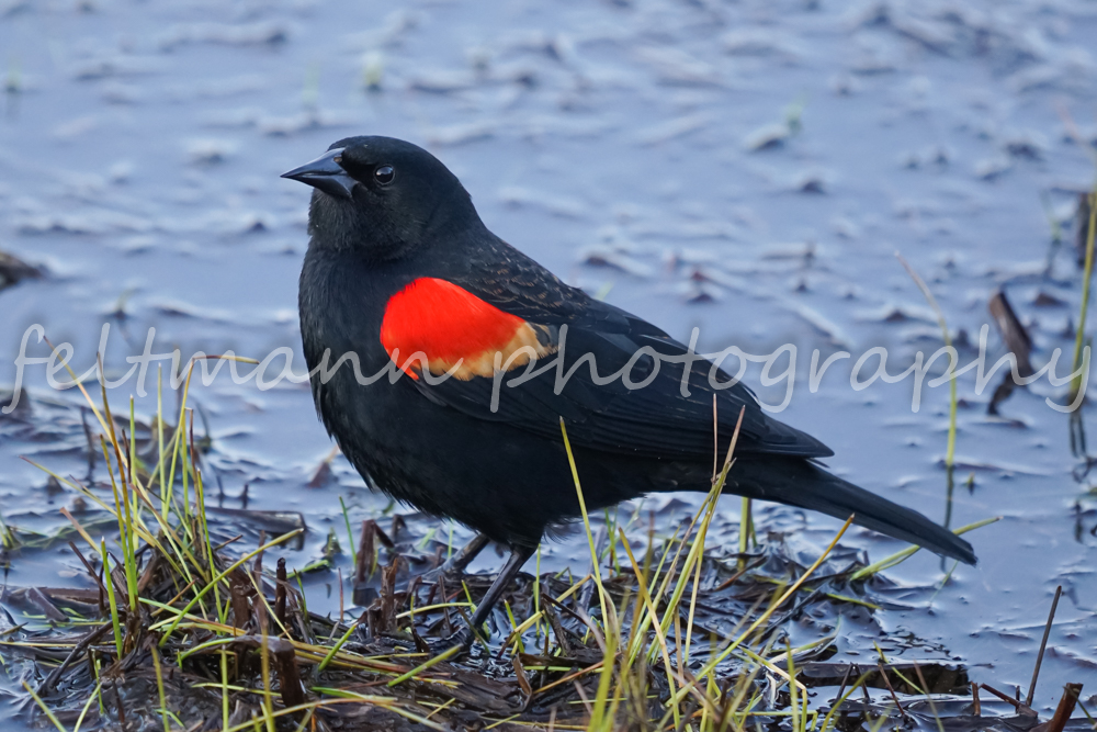 Red-winged Blackbird by a Pond