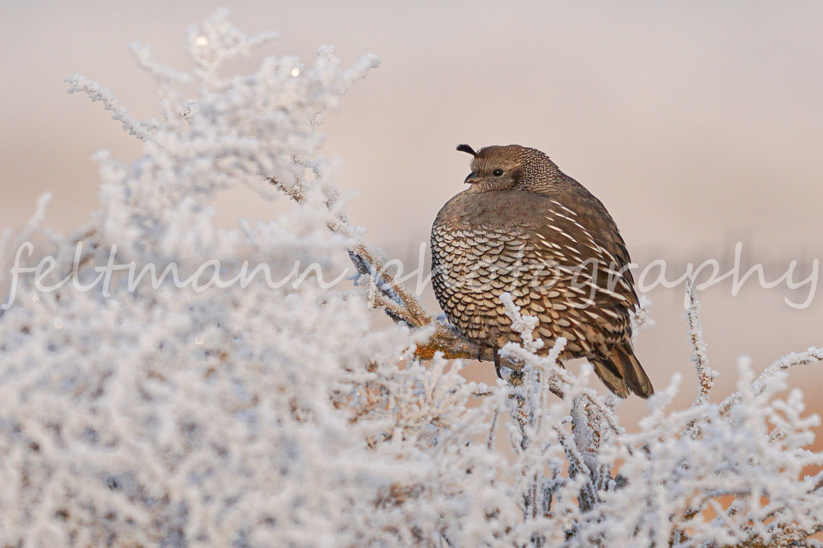 Quail on a Frosty Sagebrush