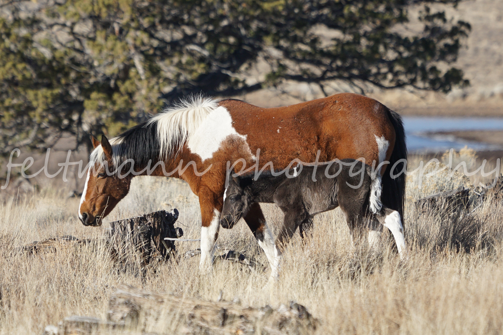 Steens Pinto Mare, Cheyenne, and Foal from the Nevada Band