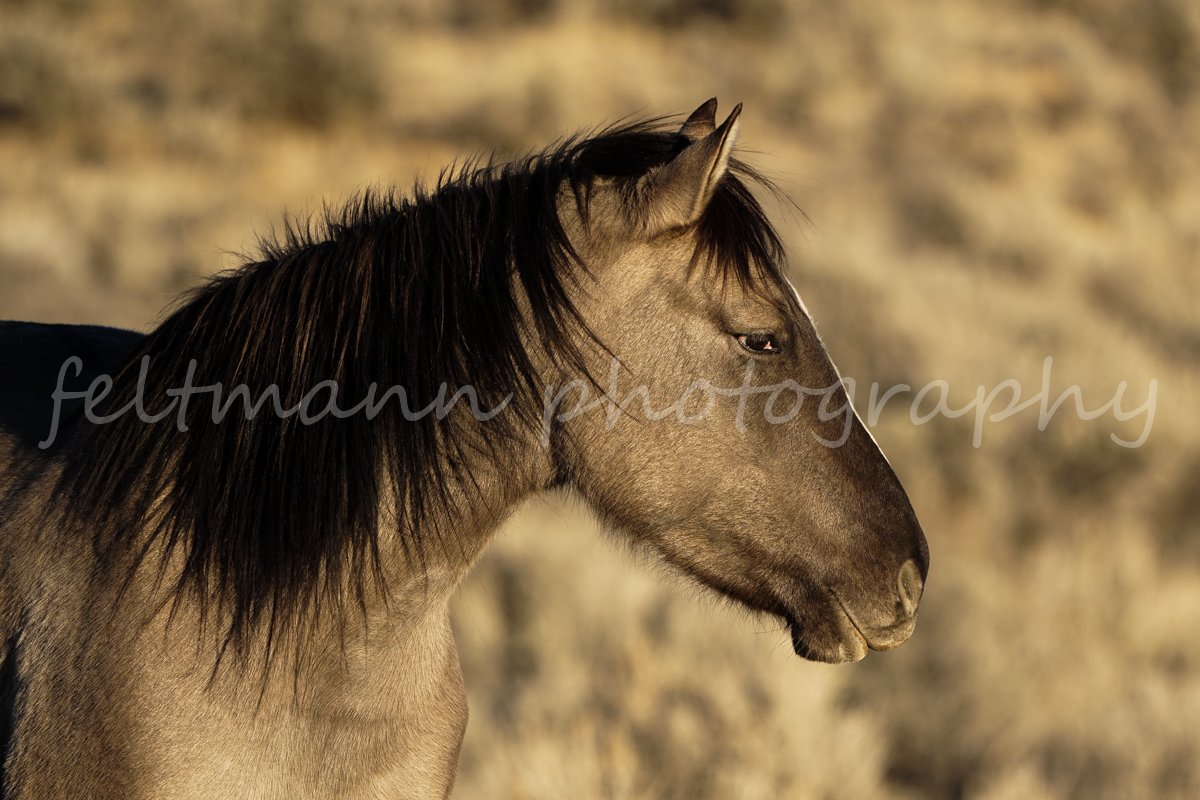 Kindle, a Grulla mare in South Steens HMA