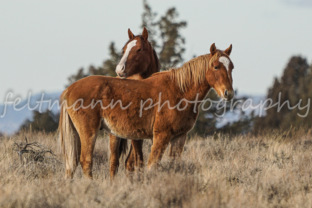Palomino Butte Mustangs in their Winter Woolies