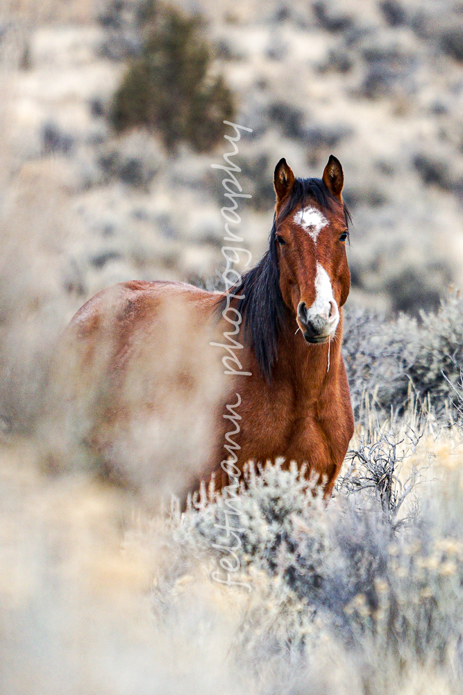 Bay Roan mare from the Cloud Walker Band