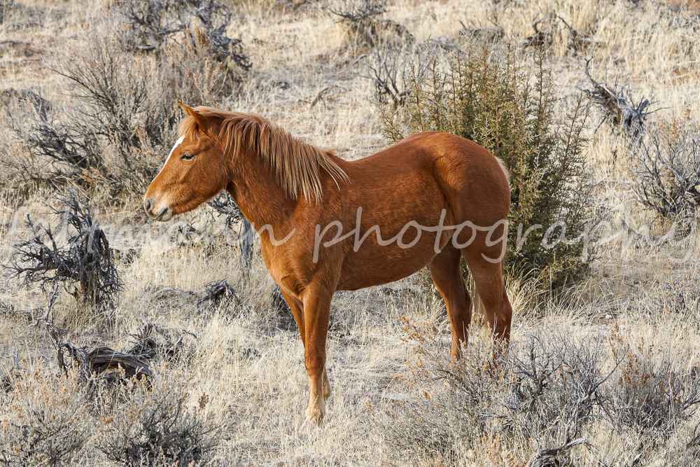 Curi, Chestnut Filly from the Cloud Walker Band on the Steens HMA