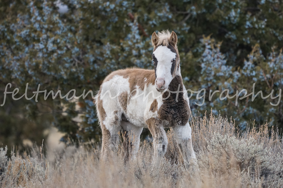 """Sunshine's"" Pinto Foal on the South Steens HMA"