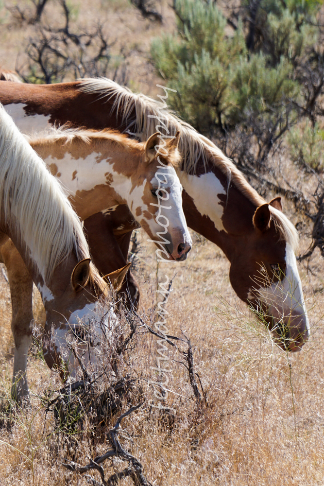 Steens Pinto Mares and foal