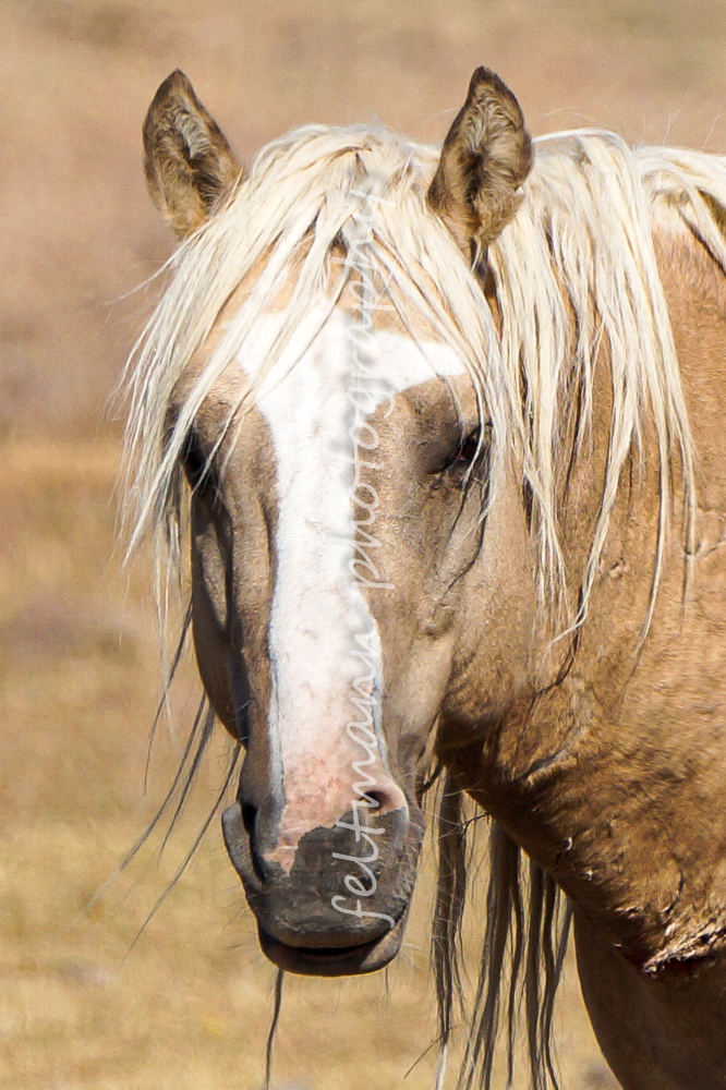 Chrome, a Dunalino Stallion from the Steens HMA