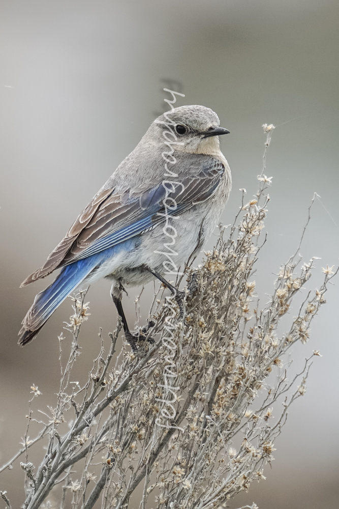 Female Mountain Bluebird on Sage