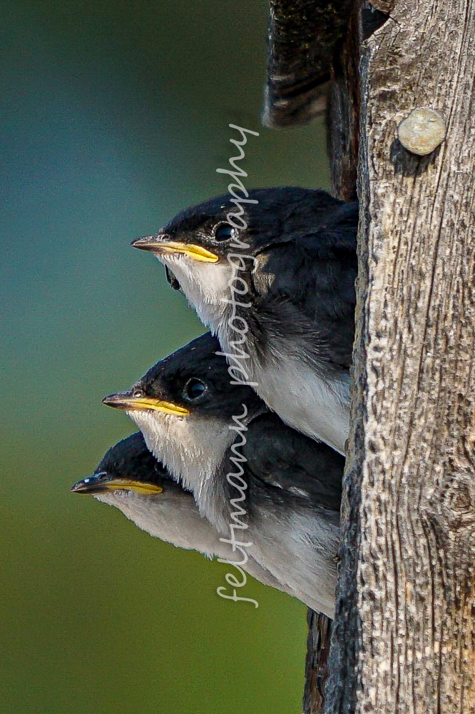 Baby Swallows in a Nest