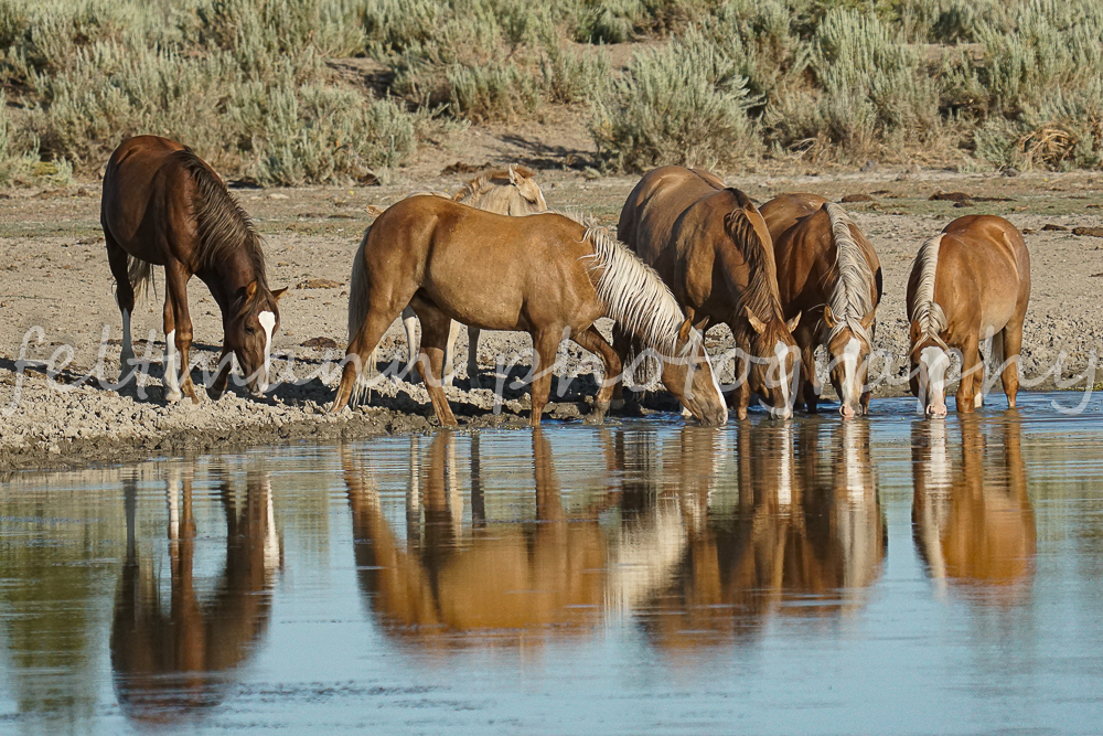 Valore Band at a Waterhole on the Palomino Butte HMA