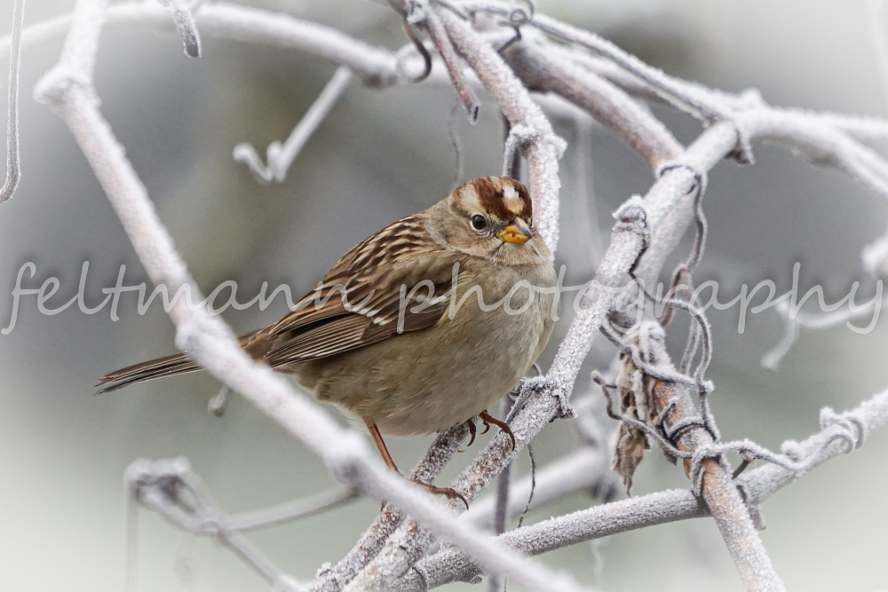 White-crowned Sparrow on Frosty bush