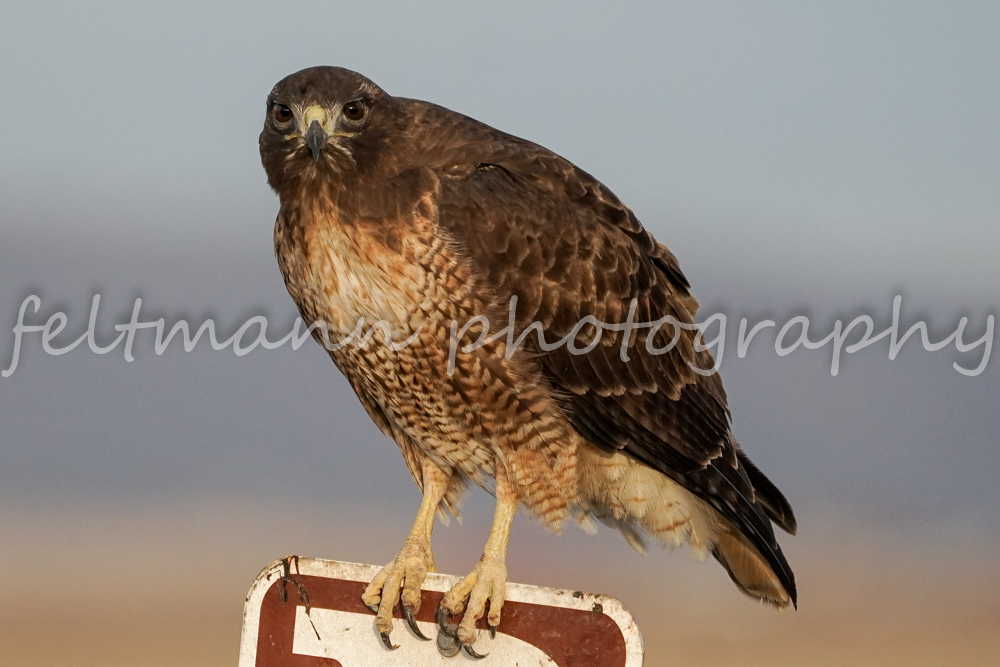 Red-tail Hawk on Sign